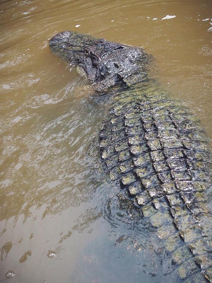 Crazy big gator